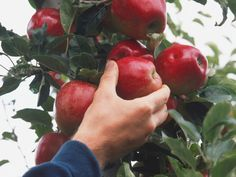 How do you know when to harvest your crops? It's all about timing --> http://hg.tv/pze6 ripe appl, garden