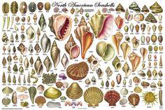 american seashel, north american, shell educ, scienc chart, chart poster