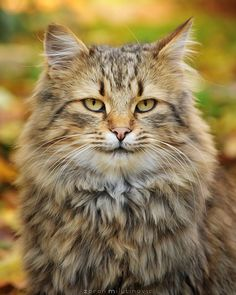 Fluffy time by *ZoranPhoto Maine Coon cat