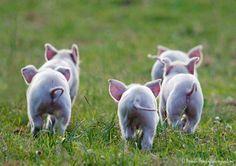 Pig tails...
