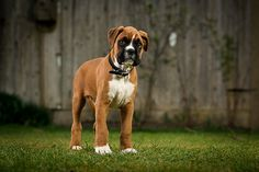 I can barely stand the cuteness of a baby Boxer dog. Oy.