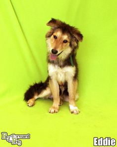 Adorable collie pup EDDIE (lovebug) is waiting for you!!!! https://www.petfinder.com/petdetail/30181107/