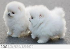 powder puff, anim, ball, pom poms, soo fluffi, babi pomeranian, baby pomeranian, dog, fluffy puppies