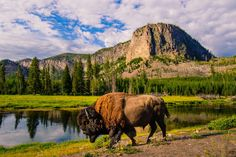 Bison, Madison River, Yellowstone Park, Wyoming, 2013 by Steve G. Bisig on 500px