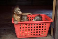 Orangutan orphans: A basketful of youngsters
