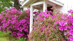 Azaleas in bloom at Cedar Grove Windy Hill Farm, Cedar Grove, NC.