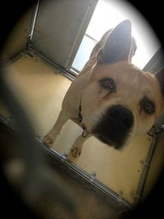 STILL ALIVE!!! KEEP REPINNING!! TIME IS UP....!!  Carmello, a seven-year-old Akita mix has been housed, alone, at the Los Angeles County Animal Control in Lancaster, Calif., since May 13 - according to a volunteer, he was put into this life or death situation by his owner.  http://www.petharbor.com/pet.asp?uaid=LACO3.A4575606 ID#A4575606 Shelter phone (661) 940-4191 https://www.facebook.com/AntjeGStobbe/posts/10151700475812318?comment_id=27476200_t=comment_mention
