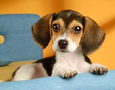 SPCA puzzle of beagle from lpfpuzzle - anyone know where I can buy any of the spca puzzles?