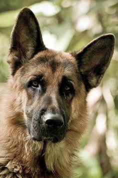 German Shepherd #dog #shepherd #animal #german