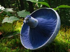 Blue milk mushroom - Lactarius indigo
