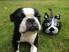 anim, beauti place, pumpkins, boston terrier, puppi, dog, terrier pumpkin