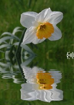 Narcissus.  It's a photo pun!  LOVE it!!