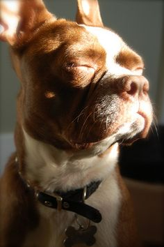 Hank, Boston Terrier, taranelson, via Flickr