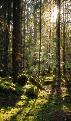 Sweden light sun forest