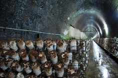 82 Shitake logs on racks in tunnels