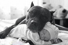 awww, at home, babysitters, precious, pit bulls, ador anim, babi, puppi, dog