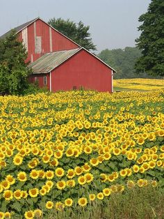 Beautiful... field of flowers and old barn