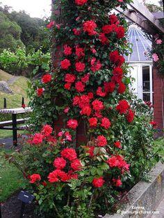 climbing red rose on brick column