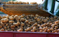 Lots and lots of Maine potatoes from Arroostook County!