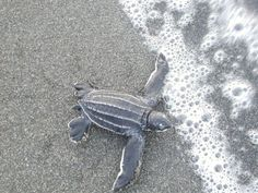 We've partnered with groups throughout Latin America working to conserve sea turtles.  We currently have volunteer opportunities in Costa Rica, Panama, Mexico, Guatemala, El Salvador, Nicaragua, and Uruguay.  For more info:  http://www.seeturtles.org/663/volunteer.html
