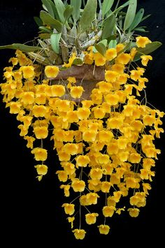yellow flowers, plant, flore, victory garden, southeast asia, exotic flowers, orchid speci, flowers garden, se asia
