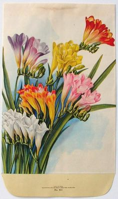 Stock Large, 911, Freesias, Antique Seed Packet