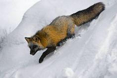 Cross Fox- Montana