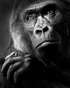 Gorilas, casi humanos  El gorila es el animal que tiene más ADN en común con los humanos, a excepción de dos especies de chimpancés.   Estas fotografías reflejan la variedad de sentimientos que son capaces de mostrar.