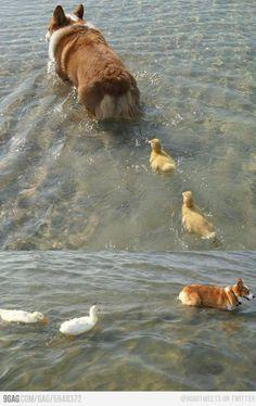 Ducklings following