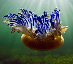 """Upside-Down Jellyfish are more than 90% water. They don't have bones, brains, blood, teeth or fins. Size: Diameter 12"""" (30 cm.)"""