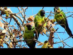 Wild Parrots of Malibu: