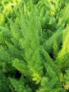 Asparagus sprengeri (Fern, Foxtail)~