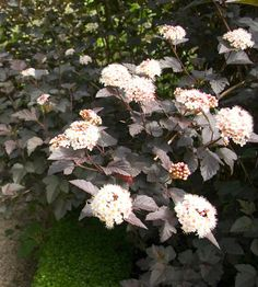 Ninebark - This native shrub requires little care to thrive. Grown primarily for its colorful foliage, which may be gold, coppery red, or deep purple in addition to medium green, ninebark stands up well to heat and drought. The burgundy foliage of Summer Wine ninebark, for example, contrasts beautifully with its delicate pink blooms. Name: Physocarpus selections Growing Conditions: Full sun to part shade; well-drained soil Size: 5-10 feet tall and 5-15 feet wide Zones: 3-7