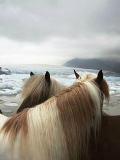 Iceland beaches, animals, animal photography, ponies, tim flach, at the beach, beauti, horse photography, wild horses