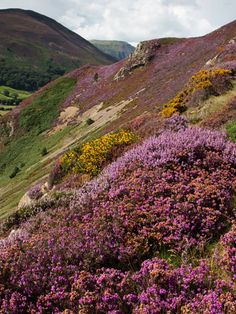 First heathers showing outside Bethesda, Wales