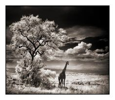 Giraffe Looking Out over Plains.