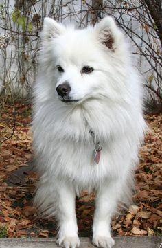 American Eskimo Toy Dog