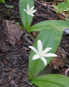 Queen's Cup Clintonia uniflora young leaves are edible. raw leaves have mild sweet taste. older leaves are best when cooked. grows in shady ...