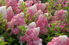 First Edition plants.... Vanilla Strawberry Hydrangea..creamy white in mid summer, changes to pink and then to strawberry red in Fall. New blooms gives the plant a multicolored effect in late summer and early fall...named top plant by the American Nursery and Landscape Association. Mature height is 6-7 feet. Spread is 4-5 feet. Hardy in Zones 4-8