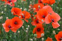 Poppies - edible plants for Leopard Tortoise (all)