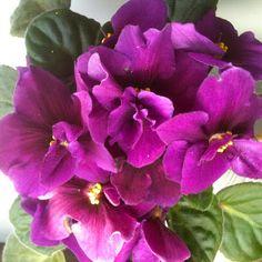 African Violet in Full Bloom!