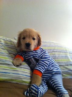 Ray Charles the blind golden retriever puppy. SO CUTE.