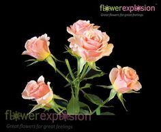 Spray roses. Natural blooming season: Spring, Summer, Fall. Relative cost: Low-Mid