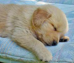 Oakley the Golden Retriever #love #dogs #cute #adorable #puppy #pup #dog #sleep #sleepy #sleeping #tired #yawn #zzz