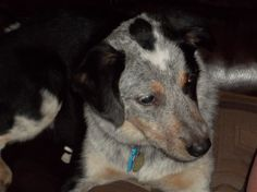 Stella, our Texas Blue Heeler (*she's a cutie and love her name!)