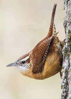Carolina Wren by Mit