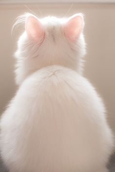 kitty cats, anim, pale pink, white cats, ears, kittens, baby cats, funny kitties, snow white