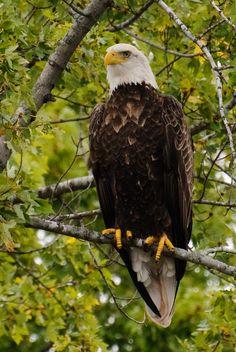 Bald Eagle (Haliaeetus leucocephalus) overlooking Mississippi River near La Crosse, Wisconsin