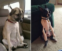 dogs sitting like humans {so funny}