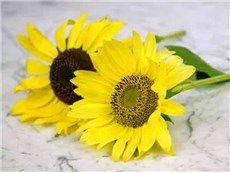 Lemon Queen - Sunflower